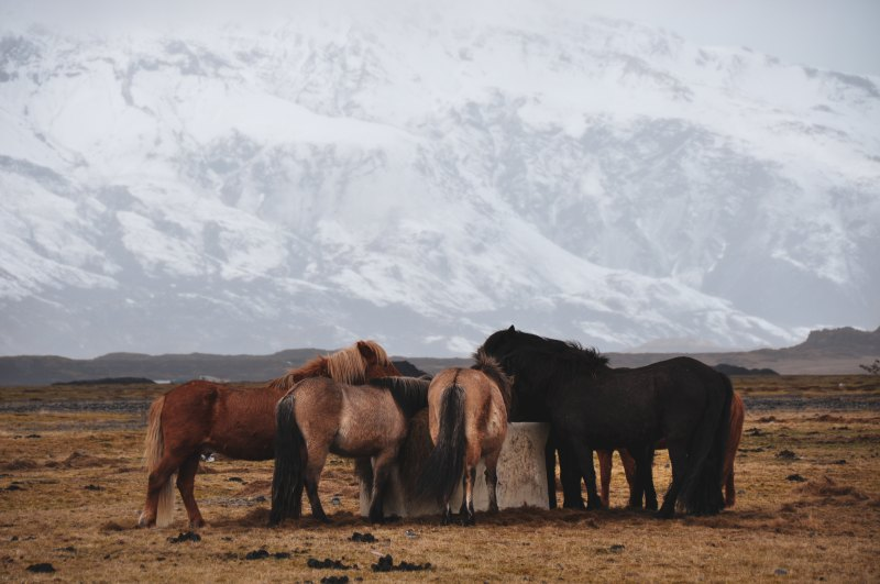Icelandic ponies eating at a trough on a grassy plain in front of a snowy mountain in Iceland